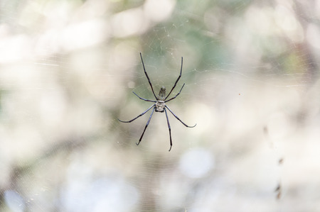 golden orb weaver: Big spider in the tropical forests of Asia.