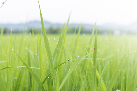 Rice fields with insect and drip on the morning of a clear day. photo