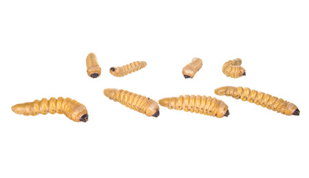 vile: Larva. The larva is thick. Vile disgusting maggot. Fat insect larvae. Beetle larvae. Rhinoceros beetle. Nasty insect. Pest root. Sickening animal. Group of larvae on the ground.Isolated on white background.