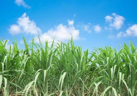 sugarcane: Sugarcane is grown on a farm against a backdrop of blue sky. Stock Photo
