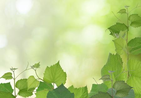 hojas parra: Rama de hojas de vid en el fondo la naturaleza.