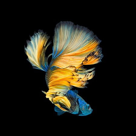 Blue Yellow Long Tail Halfmoon Betta or Siamese Fighting Fish Swimming Isolated on Black Background Foto de archivo