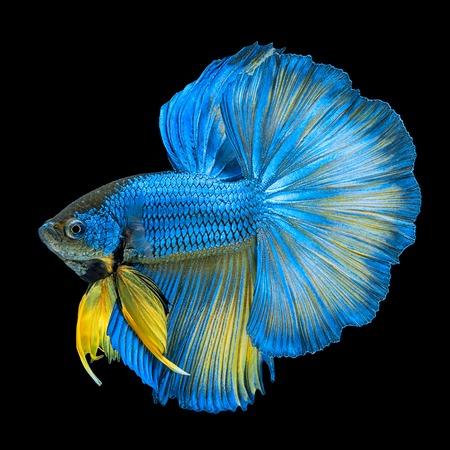 Blauwe gele lange staart Halfmoon Betta of Siamese vechten vis zwemmen geïsoleerd op zwarte achtergrond