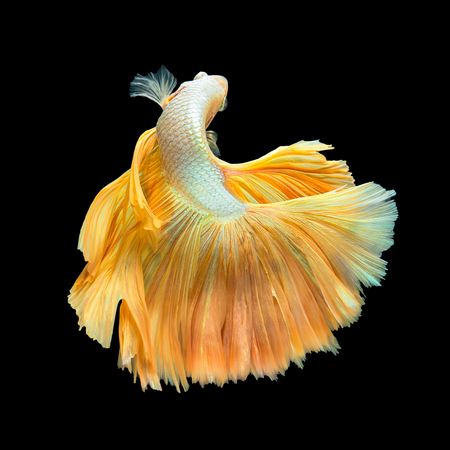 Golden Long Tail Halfmoon Betta or Siamese Fighting Fish Swimming Isolated on Black Background