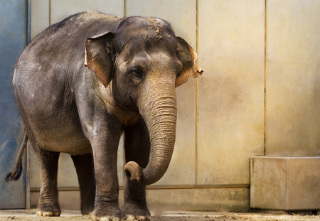 An elephant stands expectantly in front of the wall.