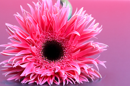 Beautiful gerbera in front of a purple background.