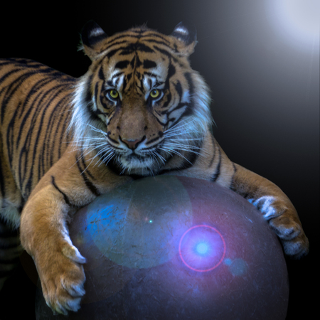 The tiger plays with his ball.
