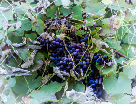 The last grapes of autumn wrapped in leaves.