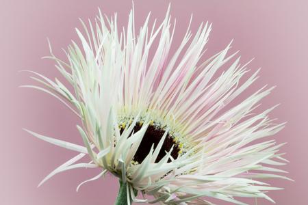 A fine-leaved gerbera in all its beauty 版權商用圖片