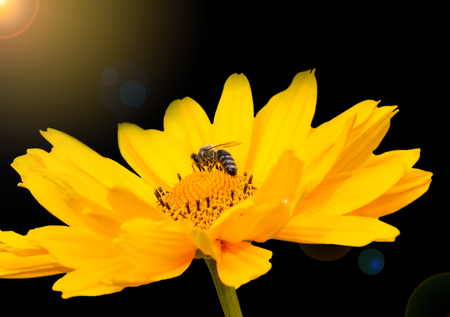 A bee strengthens at the nectar of the suns eye.