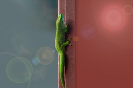 The Madagascar Gecko climbs up the wall.