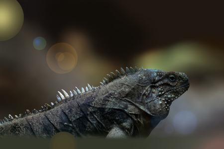 The Cuba Iguana presents itself in its splendor. Imagens