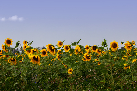 On a beautiful summers day, the sunflowers sway in the field. 写真素材