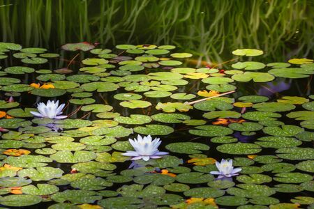 A ray of light illuminates the water lily pond with its beautiful flowers.