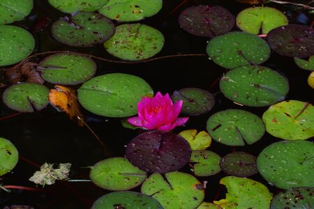 Water lily flowers and leaves after the rain.