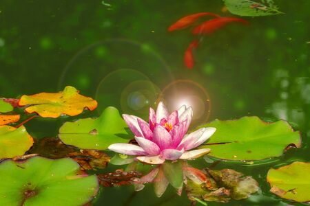 Goldfishes are swimming in the pond around the flowers and leaves.