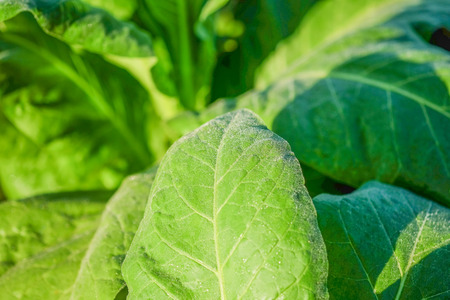 the arable land: Blooming tobacco plants with leaves