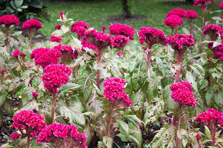 celosia: Many Celosia Cristata