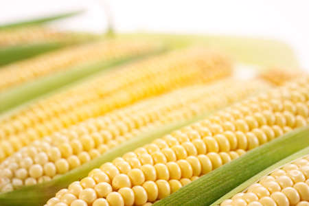 genetically modified: corn with leaves  soft focus Stock Photo