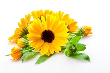 garden marigold: calendula  flowers isolated on the white background Stock Photo