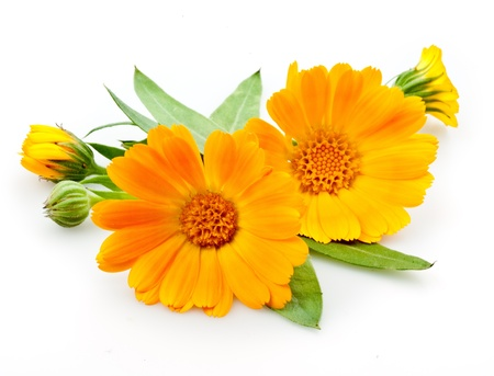 marigolds: Calendula  flowers with leaves isolated on white