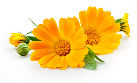 garden marigold: Calendula. flowers with leaves isolated on white Stock Photo