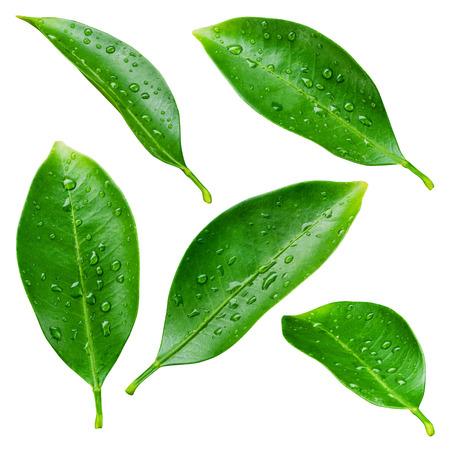 白い背景で隔離の滴を柑橘類の葉