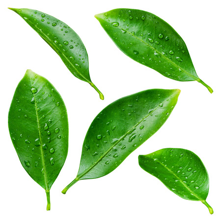 leaf water drop: Citrus leaves with drops isolated on a white background