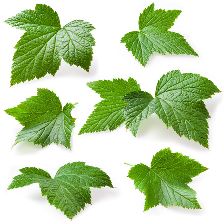 black currant: Currant leaves