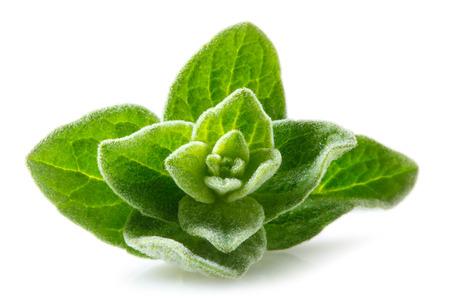 origanum: Oregano macro. Leaves on white background