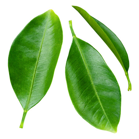 감귤 잎 흰색 배경에 고립