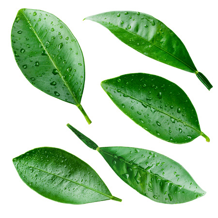 wet leaf:  Citrus leaves with drops isolated on white. Collection