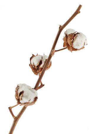 planta de algodon: Rama de la planta de algod�n aislado en blanco
