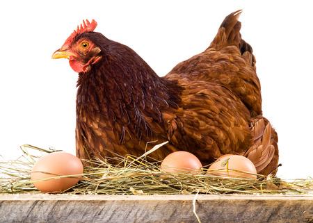 gallina con huevos: Gallina en el heno con huevos aislados en blanco