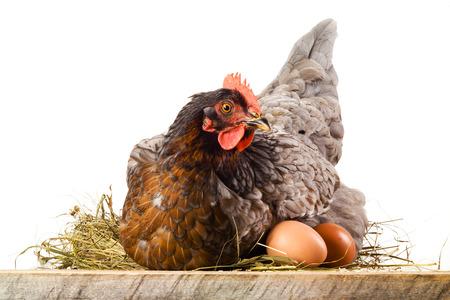 gallina con huevos: Gallina en el nido con huevos aislados en blanco