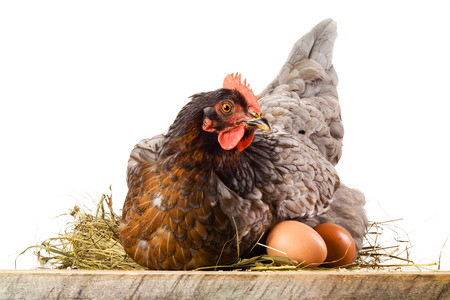hens: Hen in nest with eggs isolated on white