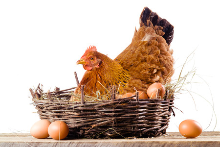 화이트 절연 계란 둥지에 닭 스톡 콘텐츠