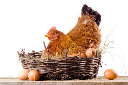 Huhn im Nest mit Eiern isoliert auf weiß