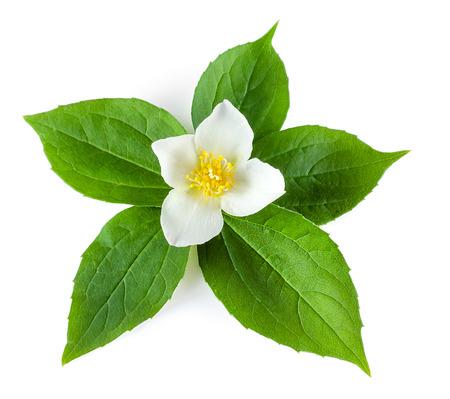 jasmine flower: Jasmine flower with leaves on white  Stock Photo