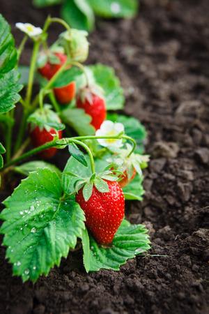 strawberry plant: Strawberry bush grow in garden