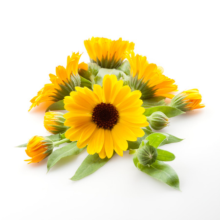 garden marigold: Calendula. Marigold flowers with leaves isolated on white