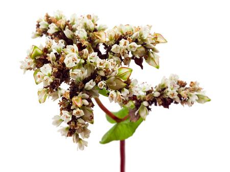 ソバ。花と白い背景で隔離の穀物