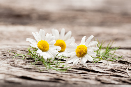 Organic chamomile flowers Stock Photo
