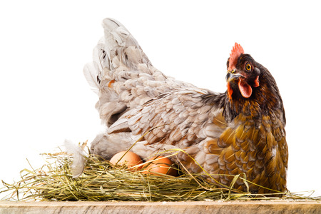 nests: Chicken in nest with eggs isolated on white