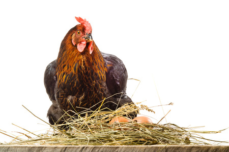 roost: Hen in nest with eggs isolated on white