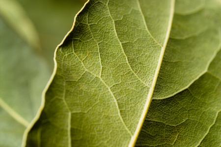 bay leaf: Bay leaf macro. Green background.