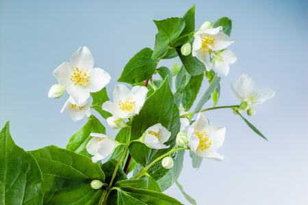 jasmine flower: Jasmine flowers with leaves on blue background
