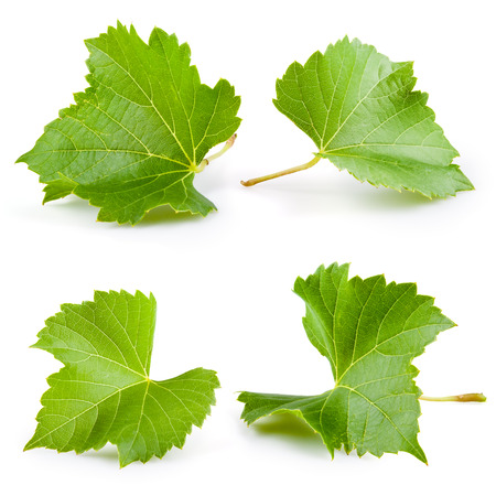 grape leaf: Grape leaves isolated on white  Collection