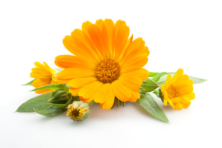 pleasing: Calendula  Flowers with leaves isolated on white
