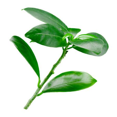 grenadine: Pomegranate leaves isolated on white background